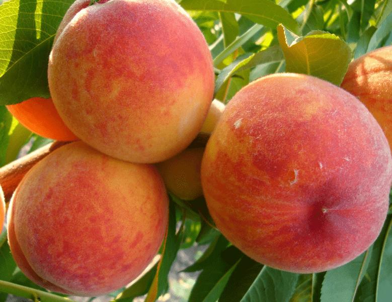 Персик Осенний Румянец 3