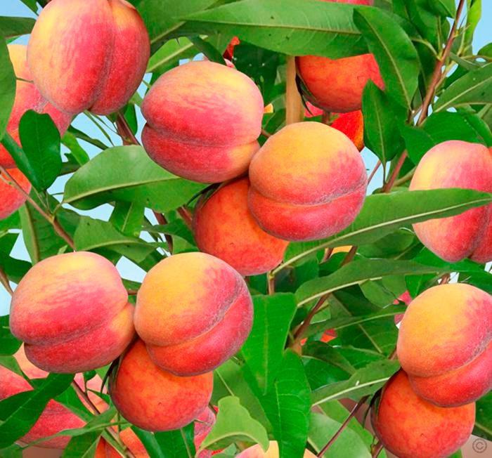 Персик Осенний Румянец 2