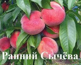 Персик Ранний Сычева