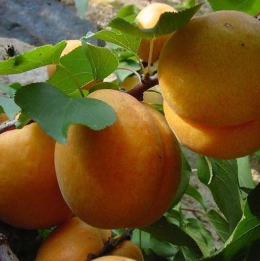 Персик Сибиряк 2