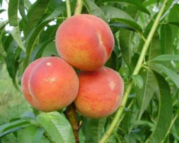 Персик Закатный