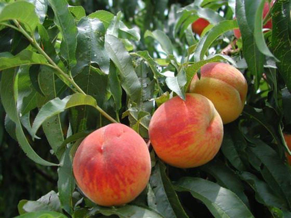 Персик Закатный 4