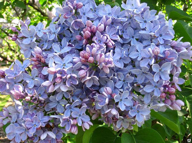 Сирень обыкновенная голубая 4
