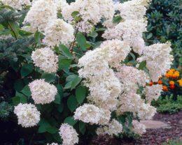 Скумпия метельчатая Грандифлора