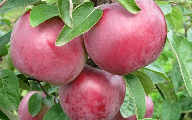 Яблоня Олеся 3