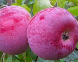 Яблоня Олеся