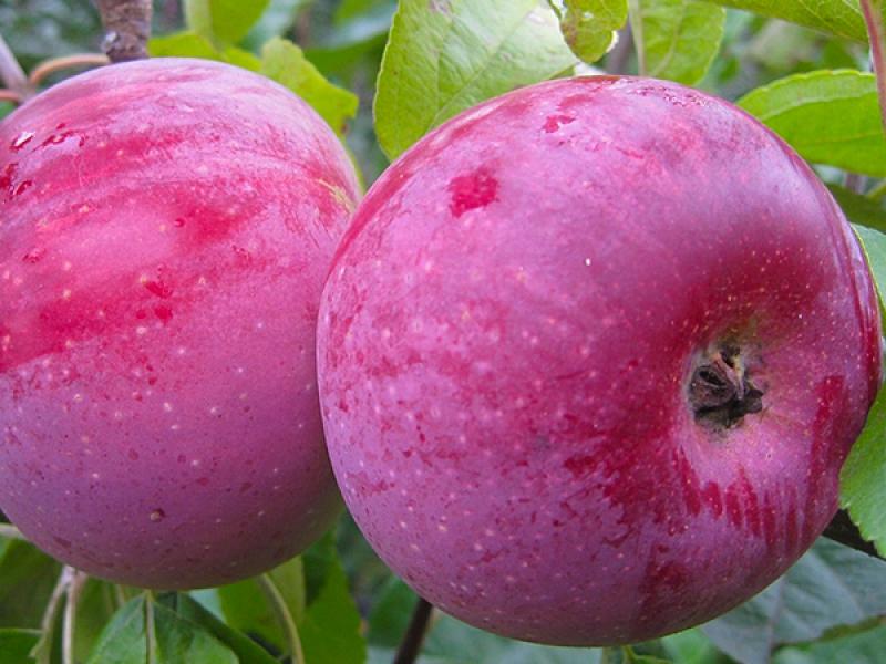 Яблоня Олеся 1