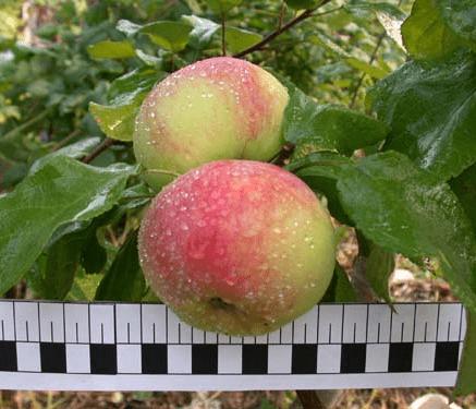 Яблоня Ароматное 4