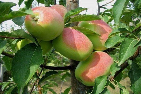 Яблоня Ароматное 2