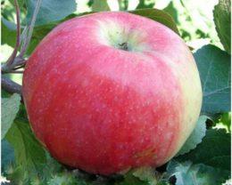 Яблоня Ароматное