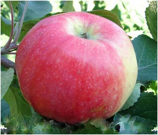 Яблоня Ароматное 1