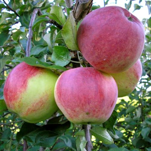 Яблоня Бессемянка 4