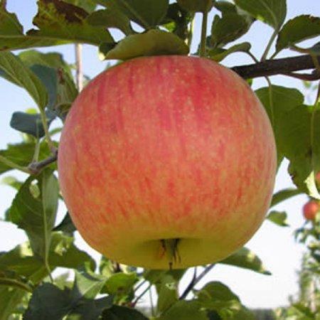Яблоня Бессемянка 3