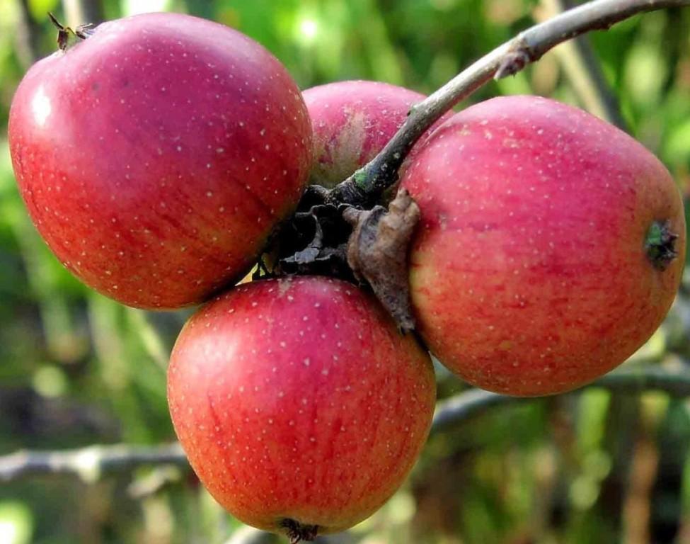Яблоня Бессемянка 2