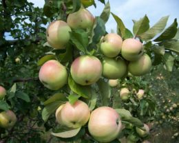 Яблоня Богатырский Синап