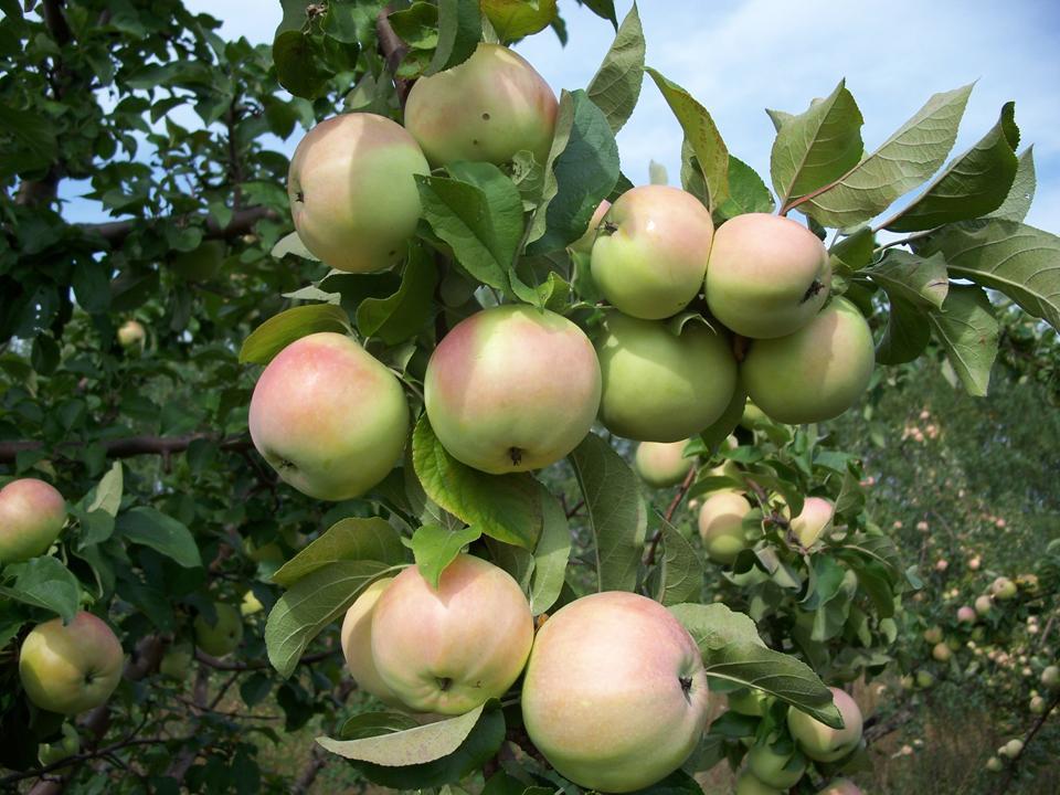 Яблоня Богатырский Синап 1