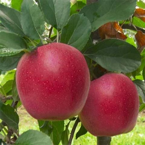 Яблоня Гала 4