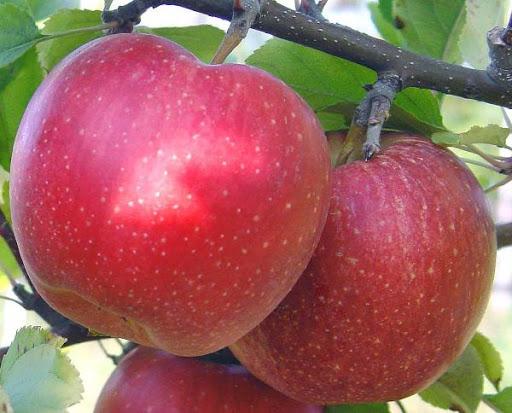 Яблоня Гала 3
