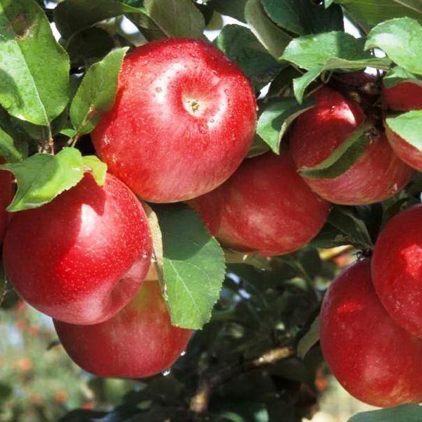 Яблоня Гала 2