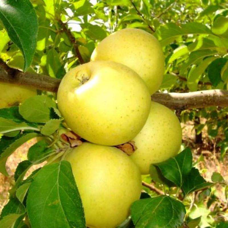 Яблоня Голден Делишес 1