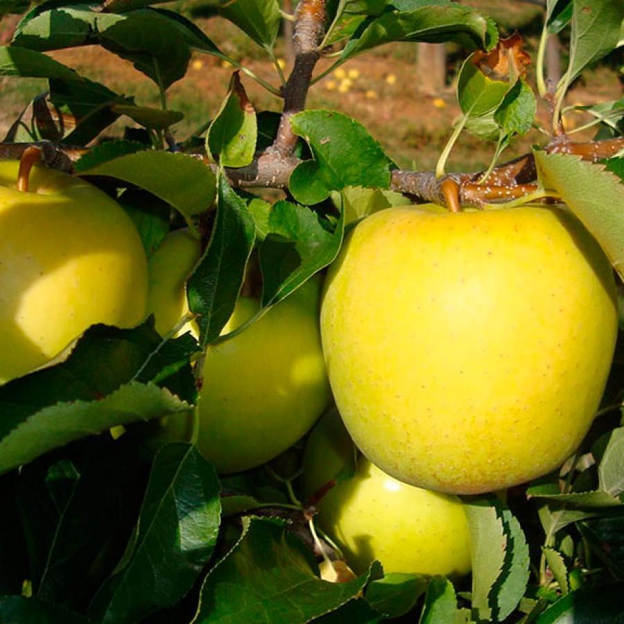 Яблоня Голден Делишес 4