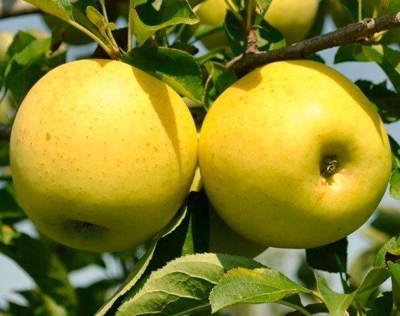 Яблоня Голден Делишес 3
