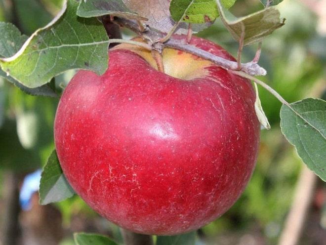 Яблоня Карамельная 4