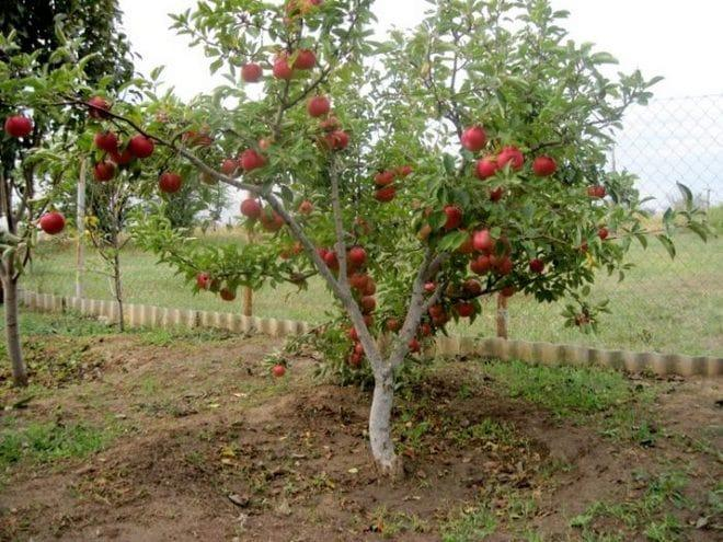 Яблоня Карамельная 2
