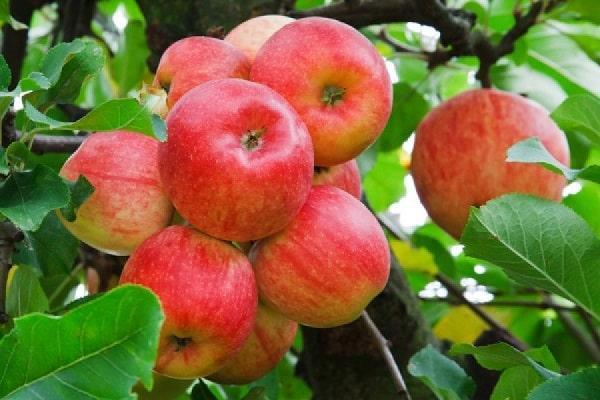 Яблоня Карамельная 1