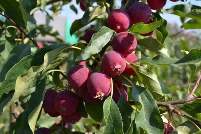 Яблоня Китайка Долго 2