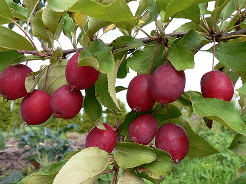 Яблоня Китайка Долго 4