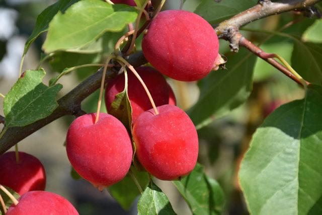 Яблоня Китайка Долго 1