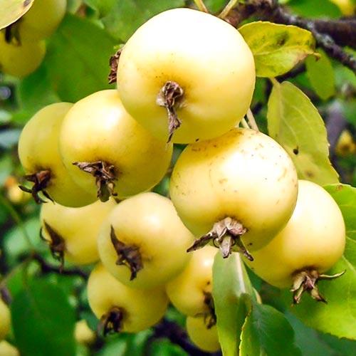Яблоня Китайка Желтая 2