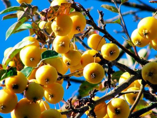 Яблоня Китайка Желтая 3