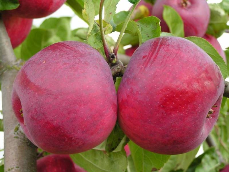 Яблоня Макинтош 1