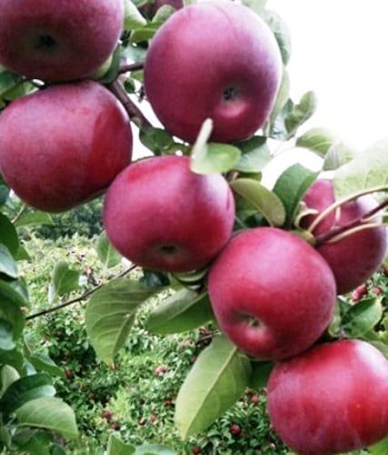 Яблоня Макинтош 3