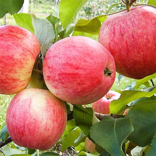 Яблоня Мельба 4