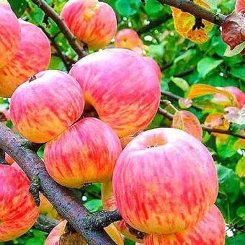 Яблоня Мельба 3