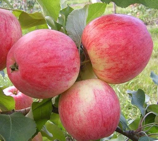 Яблоня Мельба 1