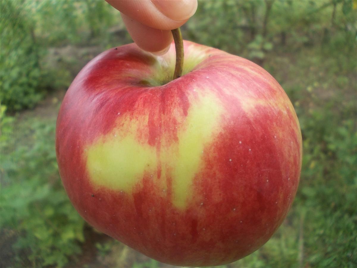 Яблоня Орловим 1