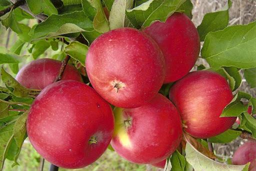 Яблоня Уэлси 1