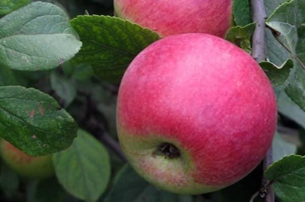 Яблоня Юный Натуралист 2