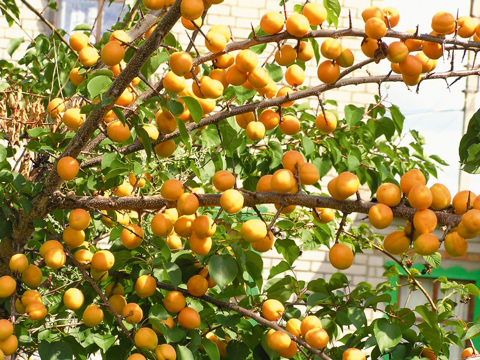 Абрикос колоновидный Солнечное лето 2