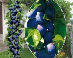 Алыча колоновидная Синяя