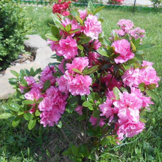 Азалия Розинетта 2