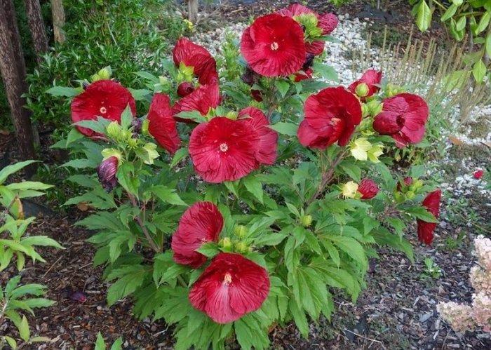 Гибискус травянистый Бордовый 3