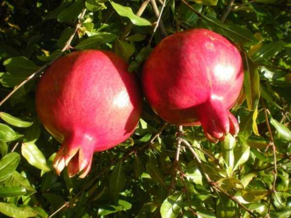 Гранат Гюлейша розовая 2