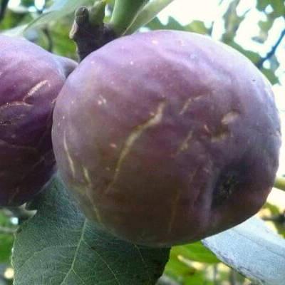 Инжир Абхазский фиолетовый 3