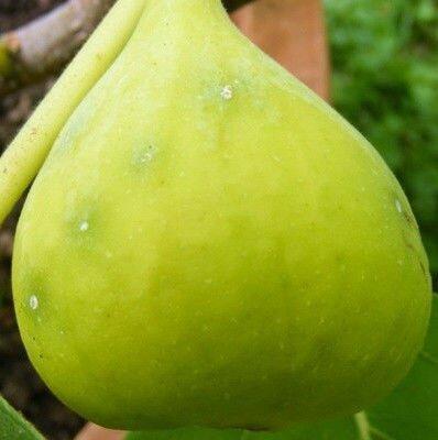Инжир Закавказский зелёный 2