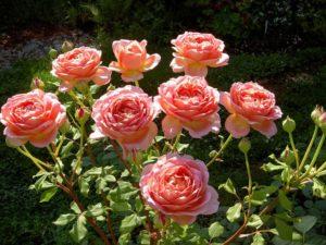 angliiskie rozy